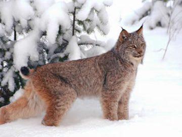 Vaşak Kedileri